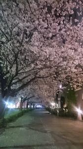 2016.4.6sakura (2).jpg