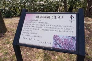 本牧山頂公園2017.4 (27) (800x531).jpg